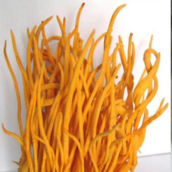 Đông trùng hạ thảo thân trên sinh khối gạo lứt tươi