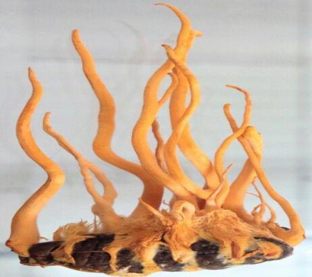 Đông trùng hạ thảo nguyên con nhộng tằm tươi